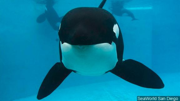 SeaWorld publishes decades of orca data to help wild whales